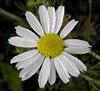 Dewy daisy (rockwolf) Tags: france flower dewdrops droplets flora pretty dew daisy normandie normandy eure 2014 bejewelled aizier rockwolf