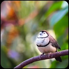 Do Not Disturb () Tags: canada macro bird vancouver bc bokeh queenelizabethpark owlfinch bloedelfloralconservatory microfourthirds olympusomdem5 mzuikodigitaled60mmf28macrolens