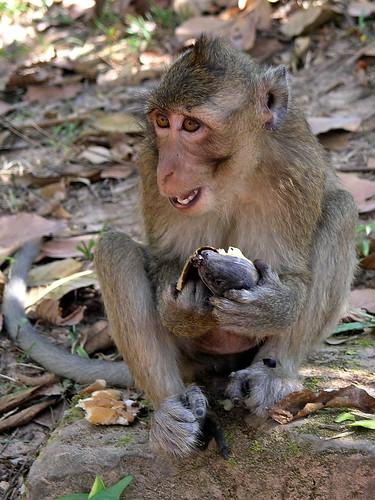 Cambodia - Siem Reap - Monkey - 13