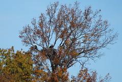 IMG_2530-1 Bald Eagle pair (John Pohl2011) Tags: bird canon john hawk raptor 100400mm birdofprey pohl perching t4i 100400mmlens canont4i