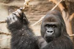 2014-09-22-10h57m18.BL7R9477 (A.J. Haverkamp) Tags: germany zoo gorilla frankfurt dierentuin westelijkelaaglandgorilla canonef70200mmf28lisusmlens viatu pobbaselswitzerland dob20121998 httpwwwzoofrankfurtde