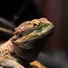 17365 - Lizard