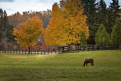 A quite pasture (HarryOwenMurphy) Tags: autumn horse ontario canada fall canon country autumncolours autumncolors milton 50d fall2014