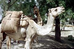 24-136 (ndpa / s. lundeen, archivist) Tags: india color film animal animals rural 35mm indian nick agra camel 24 1970s 1972 camels dewolf rurallife uttarpradesh northernindia nickdewolf photographbynickdewolf reel24