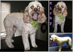 2011:8:8 kirby the cockapoo ~ Shelley (groomingbyshelley) Tags: irish haircut english hair groom illinois long king grove cut charles best grooming american shelly mohawk crown spaniel cavalier welsh cocker shelley cockerspaniel trim naperville haired britney dachsund shellie lisle clumber spaniels groomer downers britneyspaniel napervillegroomer downersgrovegroomer westmontgroomer shelleydoggroomingbyshelleycom spanielhair britneyspanielgroomer spanielgroomer cockerspanielgroom cockerspanielgroomer shelleygroomer