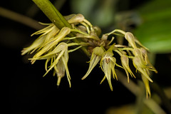 Pleurothallis sp. (PenduSeb - 2670m) Tags: santander orquideas pleurothallis labelleza