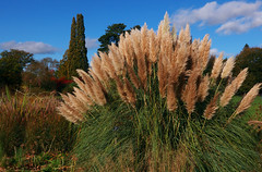 Pampas Grass (DaveC...) Tags: uk surrey autumncolours pampasgrass rhswisley lumixlf1