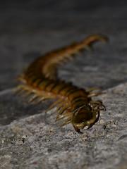 Scolopendra cingulata (Hachimaki123) Tags: animal insect insecto myriapoda cienpiés escolopendra scolopendromorpha scolopendracingulata