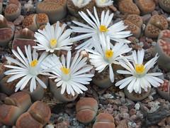 DSCF0414 (BobTravels) Tags: plant stone bob lithops lithop messem bobwitney