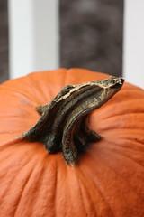 Orange (historygradguy (jobhunting)) Tags: autumn ny newyork fall pumpkin stem upstate gourd dutchesscounty hudsonvalley beekman lagrangeville