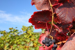 Grape (tmizo) Tags: blue autumn red sky flower japan vineyard asia  nippon nagano grape  tohmi