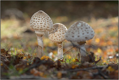 Woodland Fungi (image 4 of 4) (Full Moon Images) Tags: wood nature mushroom woodland reserve fungi national monks fungus toadstool parasole nnr