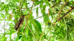 Silent Wings (AdrienneCredoPhotography) Tags: park green nature animal season flying spring nikon hummingbird mason resting d3200