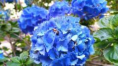 Note 4. Selective focus. (aka Sanya) Tags: flowers blue flower nature colors details 4 taken note micro cheers samsunggalaxynote4 note4selectivefocus shottakenwithsamsungnote4 flowerstakenonnote4