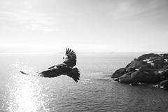 Taking Flight (JeffAmantea) Tags: bird skua south polar antarctic antarctica mario zucchelli station water sea ocean rock wildlife wild landscape sun black white sony alpha sonyalpha a7ii nikkor 50mm 14 metabones