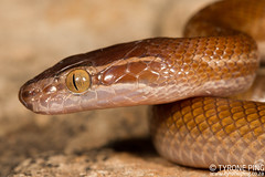 Boaedon capensis - Brown House Snake. (Tyrone Ping) Tags: boaedon capensis brown house snake johannesburg south africa harmless wwwtyronepingcoza tyroneping canon7d 100mmmacrof28 k series prime lens wild wildherps wildanimals reptiles reptilesofsouthafrica