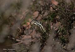 Adder (male) - Bedfordshire (Alan Woodgate) Tags: wild snake uk adder tongue hunting