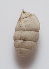 Gastrocopta sp. (Vicinum) Tags: snails gastropoda