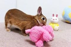 Ichigo san 647 (Ichigo Miyama) Tags: いちごさん。うさぎ rabbit bunny netherlanddwarf brown ichigo ネザーランドドワーフ ペット いちご うさぎ