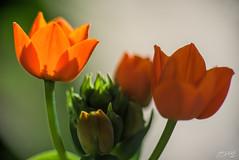 Some Oranges (fs999) Tags: 100iso fs999 fschneider aficionados zinzins pentaxist pentaxian pentax k1 pentaxk1 fullframe justpentax flickrlovers ashotadayorso topqualityimage topqualityimageonly artcafe pentaxart corel paintshop paintshoppro x9ultimate paintshopprox9ultimate masterphotos fleur flower blume bloem macrolife macro makro pentaxda200mmf28edsdm da200 dastar sdm 200mm kenko pzaf uniplus tube 25