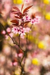 . (L'agriculteur Illuminé) Tags: dylan koller fleur rose jaune bokeh nature neuchâtel suisse canon 5d mark iii 50mm 18 macro macrophotographie macrophotography proxi