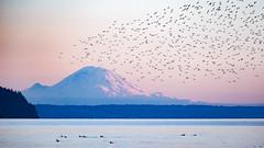 Swarms over Rainier (~ Bob ~) Tags: flock washington majestic flight whidbeyisland bird wildlife washingtonstate