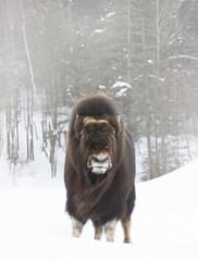Muskox (Jim Cumming) Tags: animal antler arctic black bull canada cattle cold face fauna fur giant hair hoofed hooves horn horned mammal musk muskox nature northern outdoors ovibos ox portrait power quebec rural snow ungulate white wild wildlife winter wool zoo whitebackground whitelandscape winterlandscape wintersnow