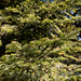 Abies alba (Silver Fir, European Silver Fir, Common Silver Fir, European Fir, Common Fir, Pectinate Fir)