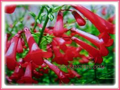 Russelia equisetiformis with gorgeous fiery red flowers (jayjayc) Tags: flickr17 jaycjayc russeliaequisetiformis red scarlet shrubs malaysia kualalumpur flowers floweringplants firecrackerplant coralfountainplant coralblow fountsinplsnt