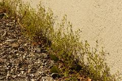 Sabline à feuilles de serpolet - Arenaria serpyllifolia (héloïsenaturaliste) Tags: plant nature wildlife sabline arenariaserpyllifolia caryophyllaceae sandwort