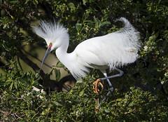 Snowy Display (Hockey.Lover) Tags: snowyegret birds display nesting rookery lakeshorepark newark