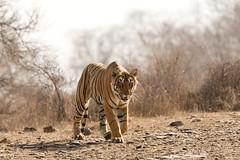 1647 Day 8 Tigers (brads-photography) Tags: headon india male mouthopen nationalpark pantheratigristigris rajasthan ranthambore royalbengaltiger sawaimadhopur starmale t28 tiger tigerreserve walking wildlife