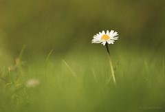 A Daisy's Kingdom (shawn›raisin d+p) Tags: 100mm canon6d macro plant shawnwhite bokeh daisy flower garden grass weed