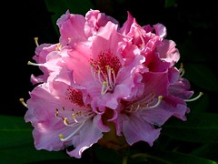Pink Rhododendron (rustyruth1959) Tags: nikon nikond3200 yorkshire tamron16300mm uk ripponden flower plant tree bush bloom petals outdoor rhododendron nature light shadow pink pinkflower shrub gettyimages