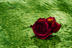 ...    one more rose (mariola aga) Tags: street water flower red rose green hue closeup art thegalaxy