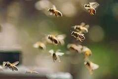 Amante de flores (S.Norero) Tags: mellifera bees abeja abejas bee honeybees