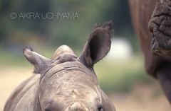 ZOO0105-2 (Akira Uchiyama) Tags: 動物たちのいろいろ 耳 耳シロサイ幼獣