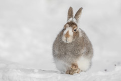 Mountain Hare (beverleythain) Tags: mountain hare scotland highlands cairngorms wildlife nature animal snow seasons camouflage
