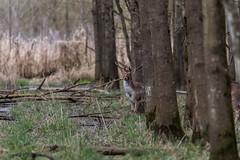 4D3A7797 (marcwalter1501) Tags: damadama daim forêts animaux selestat illwald 5dmk4 canon cervidé