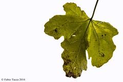 caducità (Fabio Tacca) Tags: caducità fico fogliadifico caducity lucibruciate highkey fallingleaves figleaf fig leaf nikon nikond3300 verde green