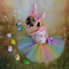 My Easter Bunny Bailey Puggins (DaPuglet) Tags: pug pugs dog dogs animal animals pet pets easter bunny rabbit ears costume eggs cute holiday coloursplosion colourartaward