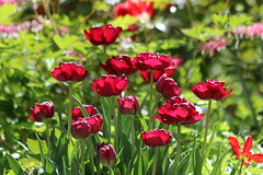 Easter - A Promise (ivlys) Tags: darmstadt minigarden tulpen tulips blumen flowers blüte blossom sonnenlicht sunlight ostern easter nature verheisung promise ivlys