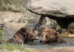 Kodiak Bears (Oleg Gonik) Tags: kodiak bear play nikon d810 7020028vr bronxzoo brown