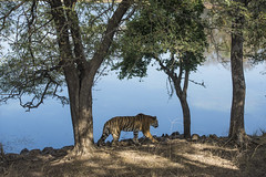 Arrowhead by the lake (Shubh M Singh) Tags: wildlife ranthambhore tiger arrowhead india rajasthan