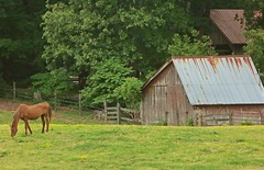 ~ The Green Green Grass of Home .... (~ Cindy~) Tags: horse old barn green grass fence gates bob wire country hiddetruck leaves trees greenery mustard wild grazing hff tennessee kingston 2016