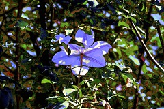Clematis Shying from the Autumn Sun! (maginoz1) Tags: flowers abstract art clematis contemporary manipulate autumn march 2017 bullarosegarden bulla melbourne victoria australia canon g3x