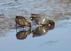 Green winged teal 2 (kkdemien) Tags: duck waterfowl green winged teal