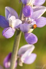 Ladybug in a lupine (Squirrel Girl cbk) Tags: 2017 california march walkercanyon beetle ladybug lupine macro