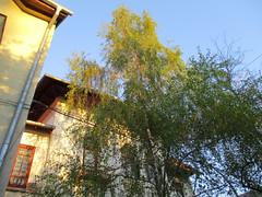 IMG_0343 (cristinamonicamoldoveanu) Tags: birch mesteacan tree copac