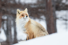 Dreamer (alexander.alechits) Tags: ©alexanderalechits canonef100400mmf4556lisiiusm canoneos7dmarkii sakhalin nature wildlife fox red winter snow snowfall сахалин зима снег снегопад лиса